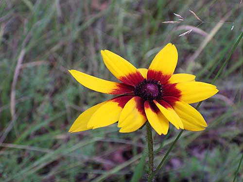 Showy Coneflower